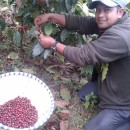 Saran picking the coffee cheeries